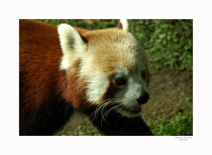 Red Panda - Aldinga Photos Gallery