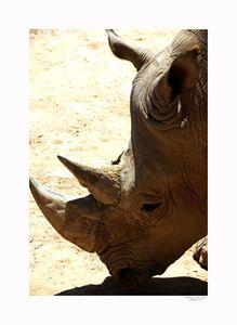 White Rhinoceros 1