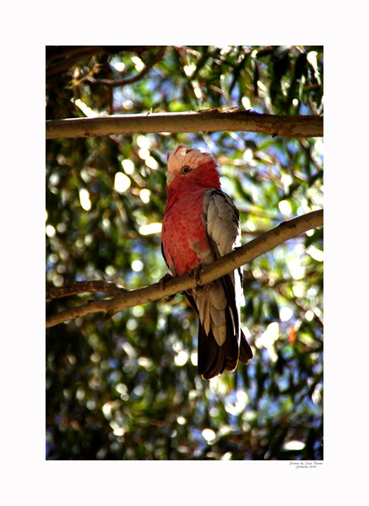 Galah Cockatoo - Aldinga Photos Gallery