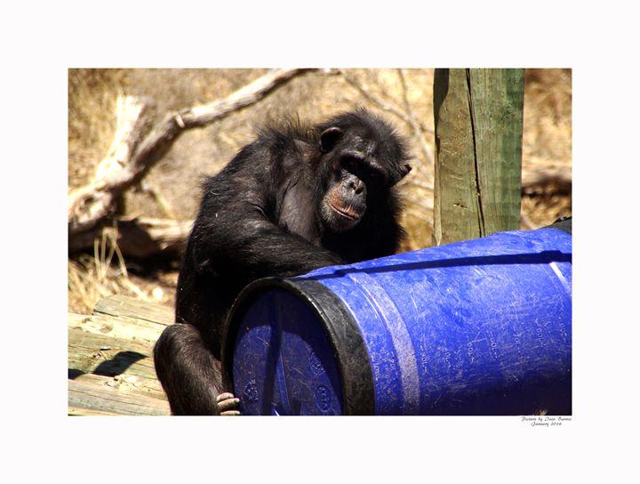 Chimpanzee - Aldinga Photos Gallery
