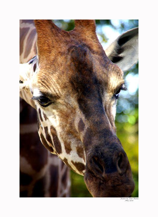 Giraffe - Aldinga Photos Gallery