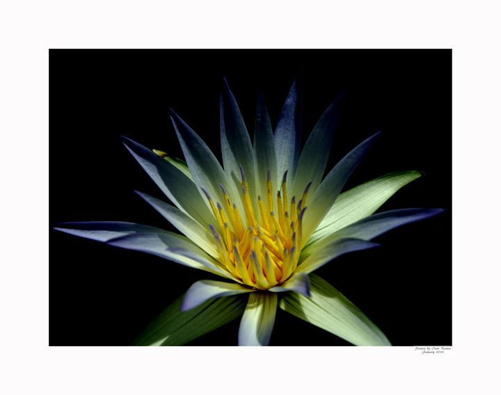 Water Lilies Flower - Aldinga Photos Gallery