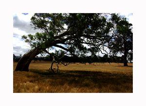 Eucalyptus tree - Aldinga Photos Gallery
