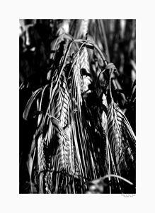 Wheat black & white