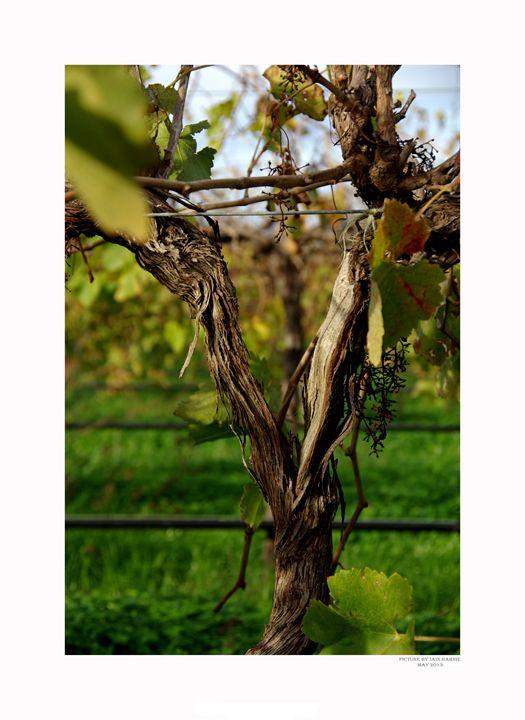 Vine - Aldinga Photos Gallery