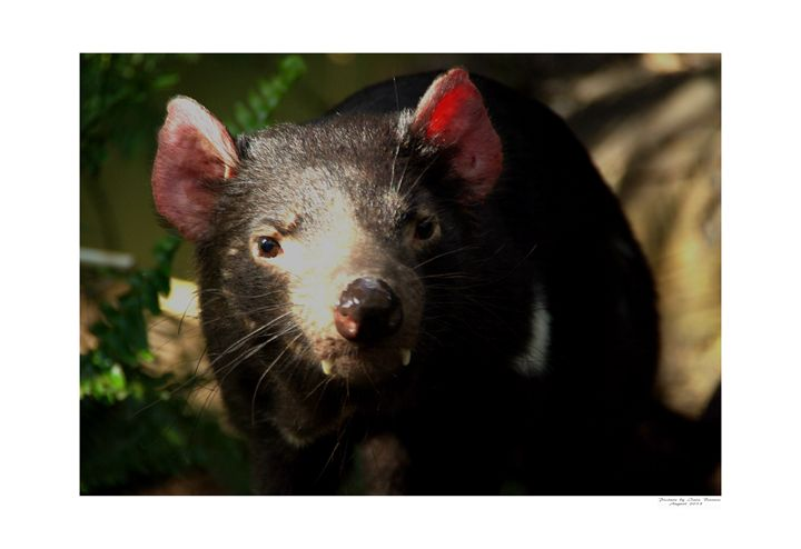 Tasmanian Devil - Aldinga Photos Gallery
