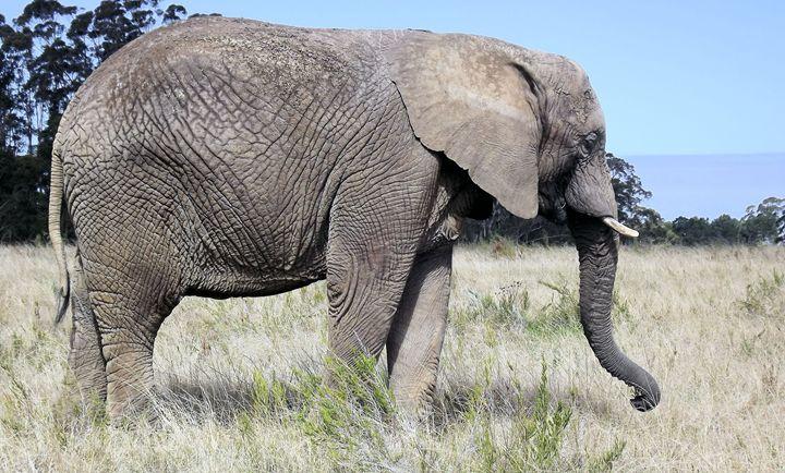 Elephant - PhinnsArt