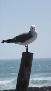 Seagull looking at you