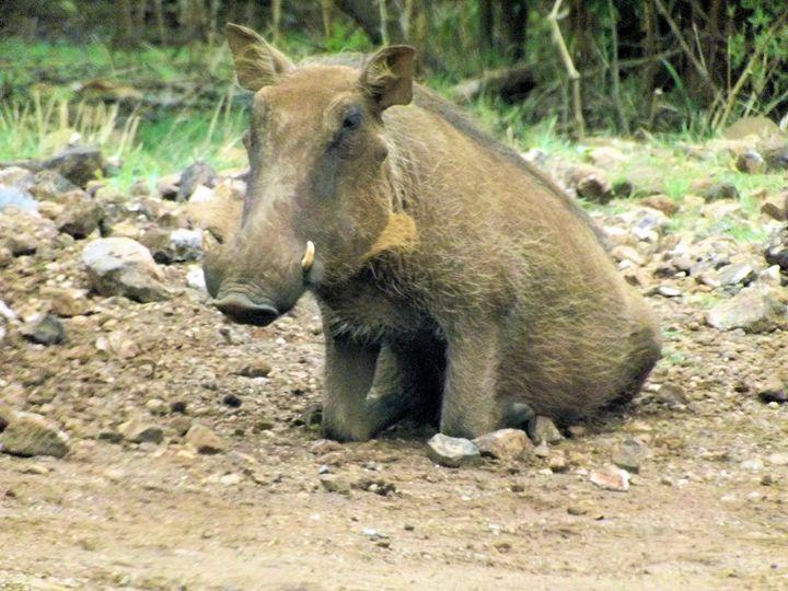 Warthog Sit - PhinnsArt