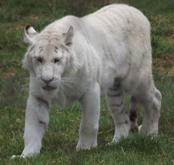 White Tiger - PhinnsArt