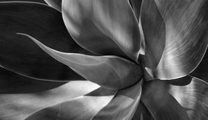 Agave Plant - Photography by Bill Caddell