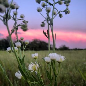 Wildflower At Dusk