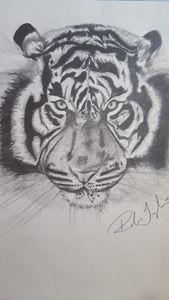 Tiger - Robin