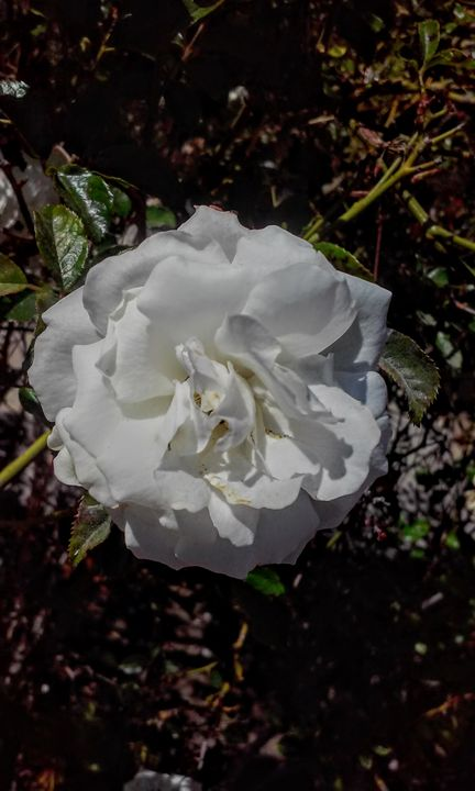 White Flower - Photography by Skye