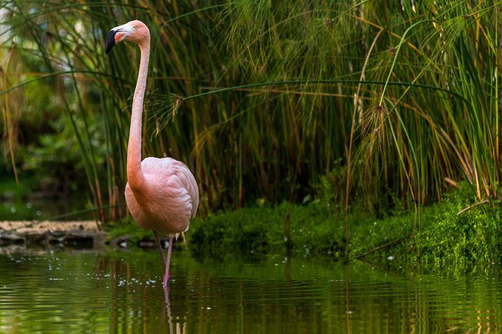 Flamingo in green - Photography Vos