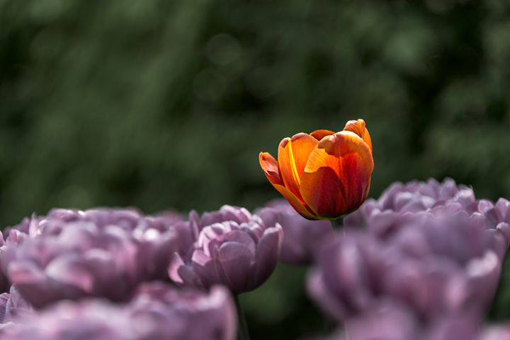 Tulip - Photography Vos