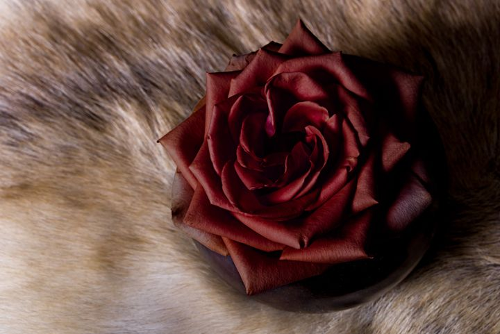 Red Rose - Photography Vos