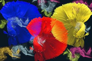 Colorful fishes Betta splendens