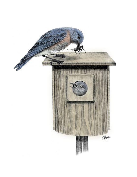 Bluebirds - Colin Hayes Art