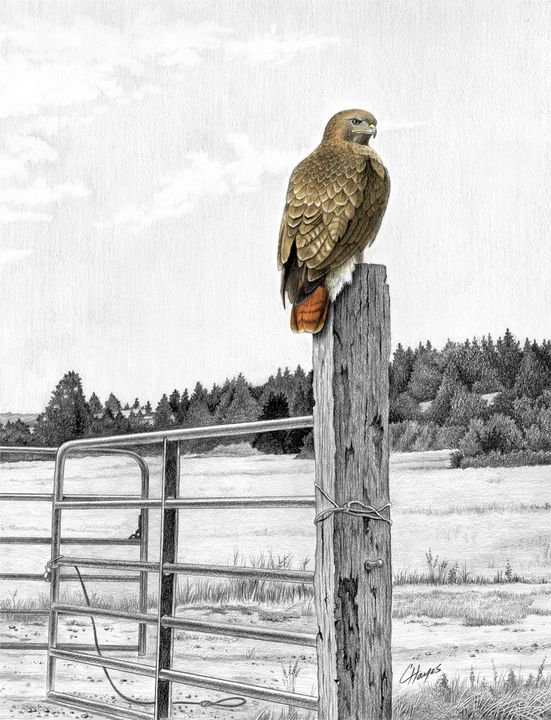 Red-tailed Hawk on Fencepost - Colin Hayes Art