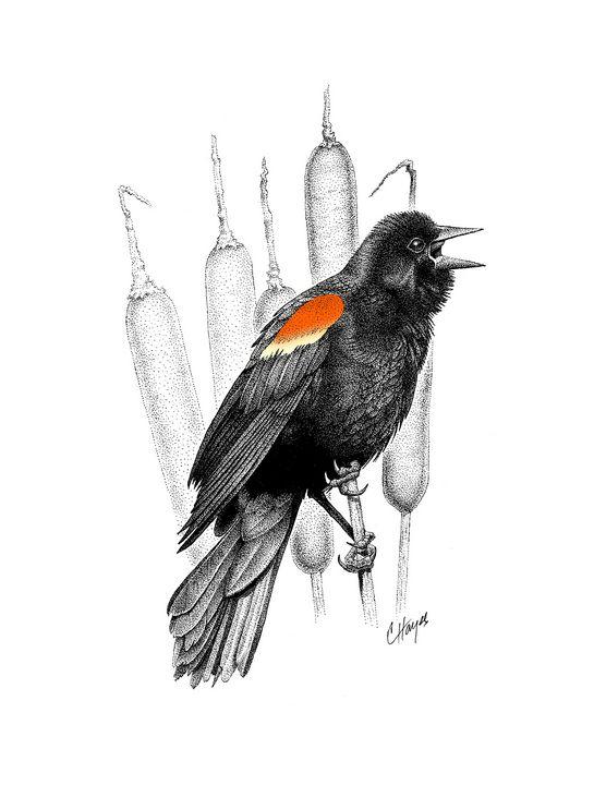 Red-Winged Blackbird Singing - Colin Hayes Art