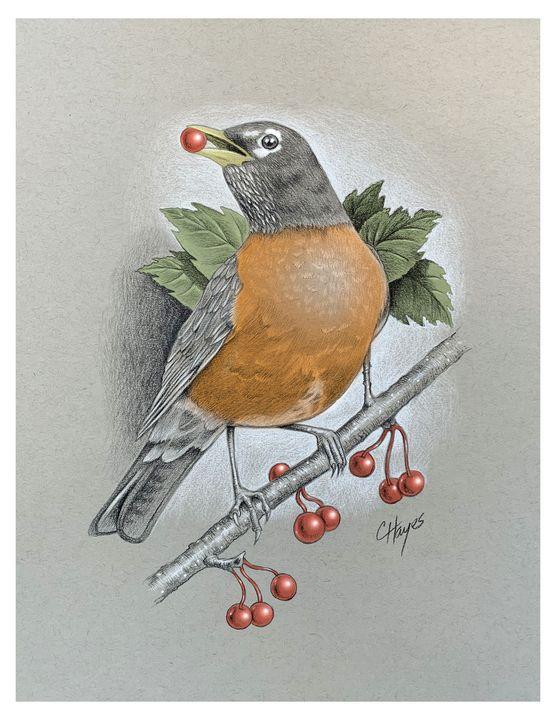 American Robin Eating Berries - Colin Hayes Art