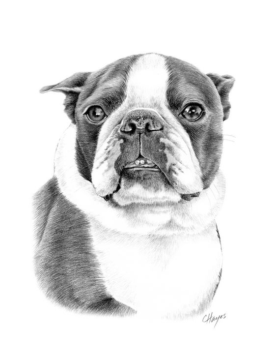 Boston Terrier - Colin Hayes Art