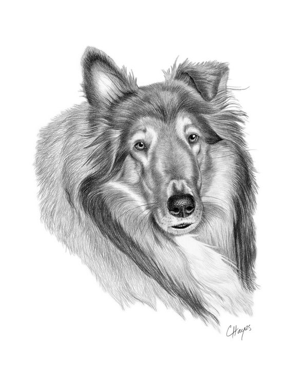 Collie - Colin Hayes Art