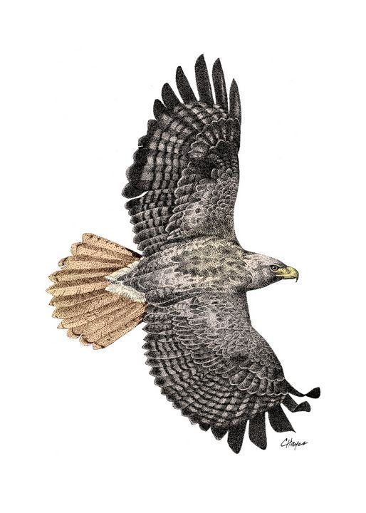 Red Tailed Hawk - Colin Hayes Art