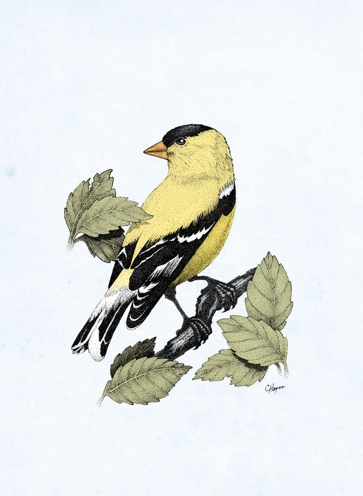 American Goldfinch - Colin Hayes Art
