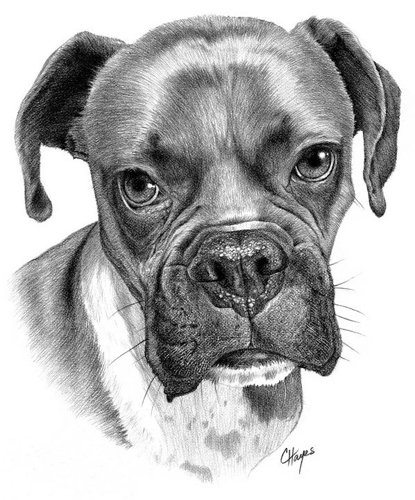 Boxer dog - Colin Hayes Art