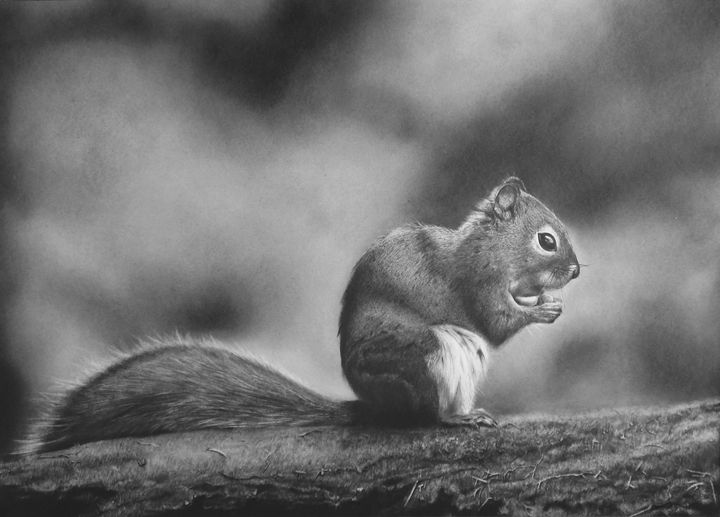 Squirrel on Branch pencil drawing - andre Illustration