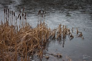 Iced Lake Cattails