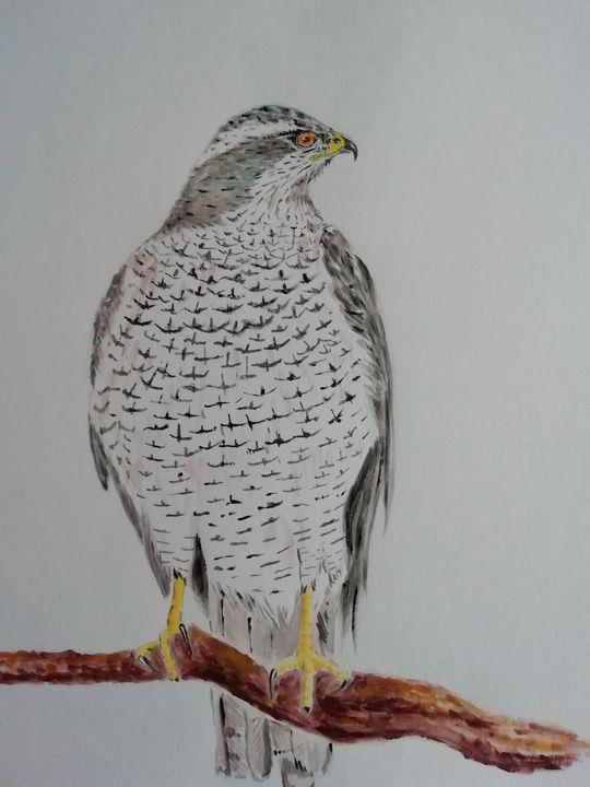 Goshawk - Dave Taylor art works