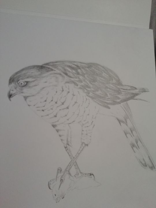 Sparrowhawk - Dave Taylor art works