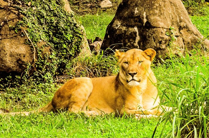 LIONESS - Lady Marie