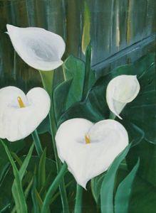 Calla Lilies in shade