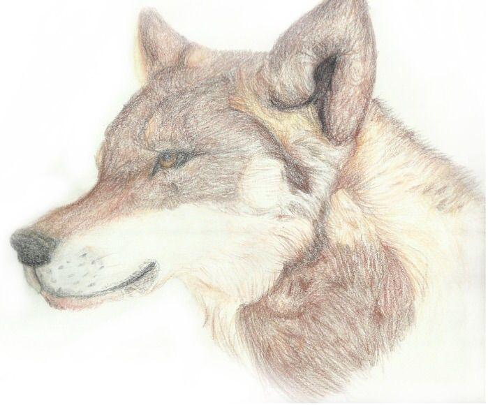 Head of a Wolf - Bxri's Art