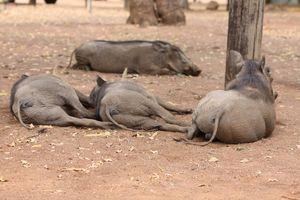Lazy Warthogs