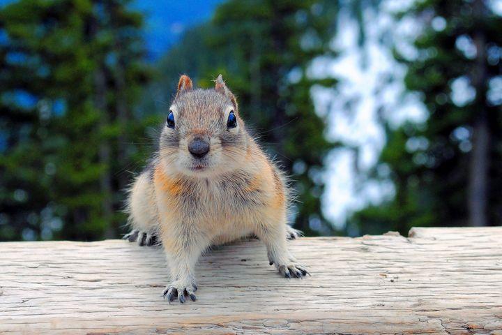 Chipmunk in Banff Alberta in Canada - Andy Evans Photos