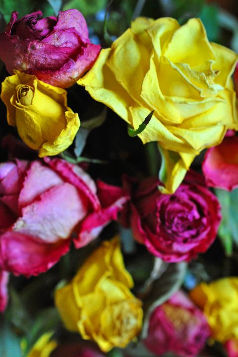 Yellow Pink And Red Rose's Flowers - Andy Evans Photos