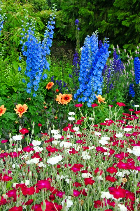 Blue Delphiniums Summer Flowers - Andy Evans Photos