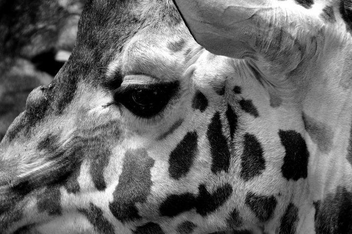 African Giraffe Giraffa - Andy Evans Photos