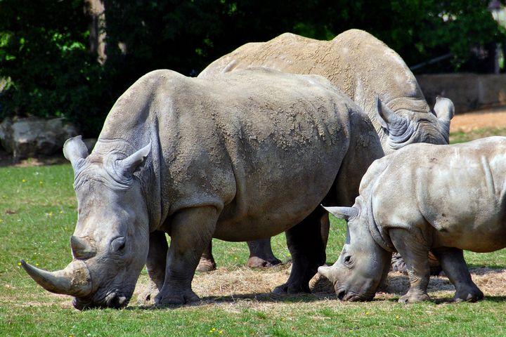 Southern White Rhino Rhinoceros Cera - Andy Evans Photos