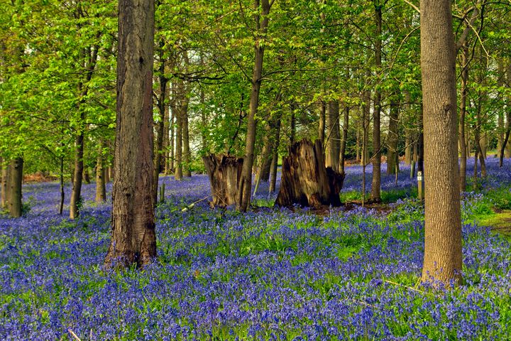 Bluebell Woods Greys Court Oxfordshi - Andy Evans Photos