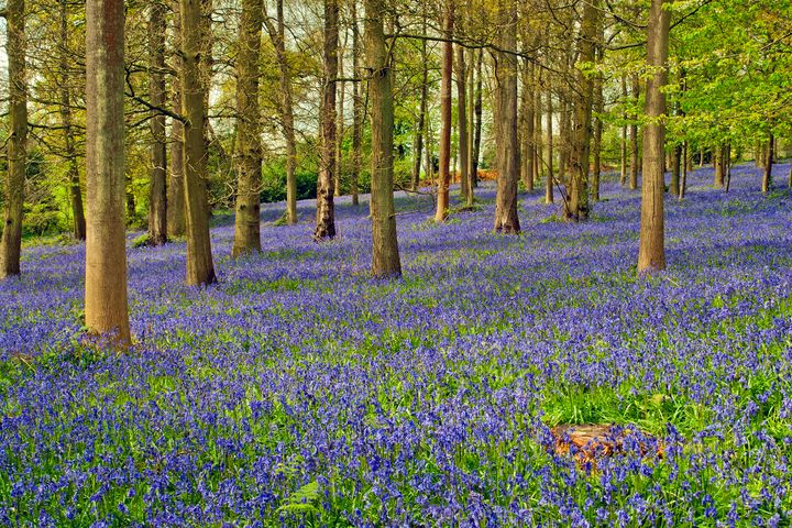 Bluebell Woods Greys Court - Andy Evans Photos