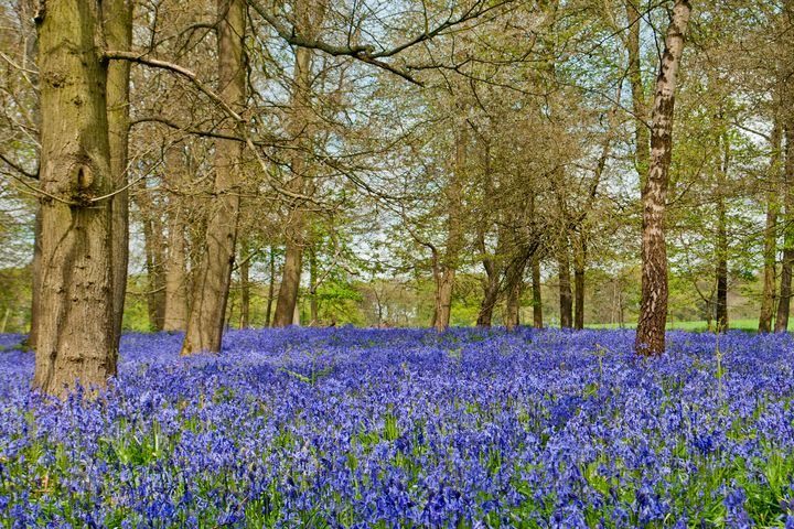 Bluebell Woods Greys Court UK - Andy Evans Photos