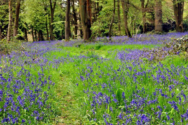 Bluebell Woods Basildon Park - Andy Evans Photos