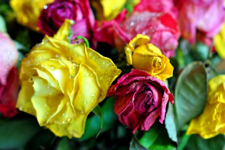 Yellow Pink And Red Rose's - Andy Evans Photos