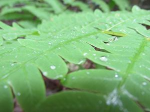 Dew Covered Fern